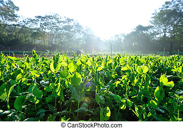 green pea crops in growth - green pea crops in growth at...