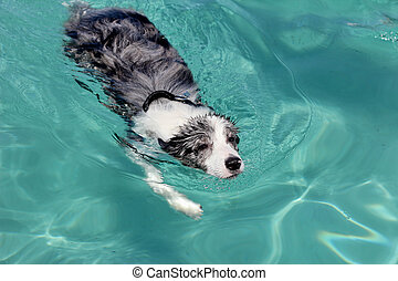 Swimming dog - border collie - A dog is swimming in a blue...