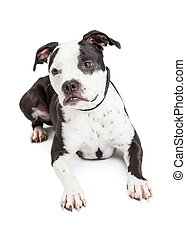 Black and White Pit Bull Dog Laying - A beautiful black and...