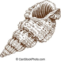 conch shell - engraving antique illustration of a conch...