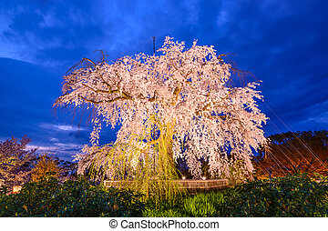 Weeping Cherry Blossom Tree - Maruyama Park in Kyoto, Japan...