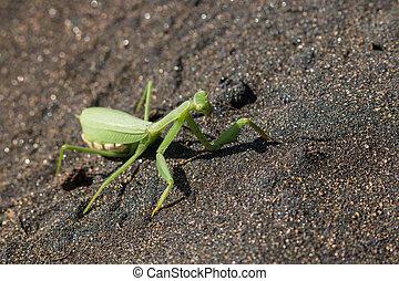 Praying mantis on volcanic sand - Detail of praying mantis...