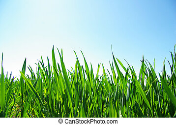 green lawn  - Beautiful green lawn isolated on sky