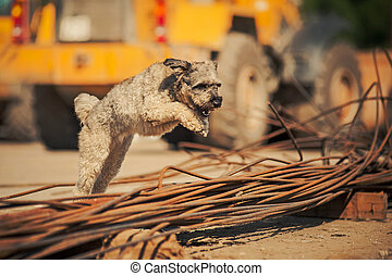 curly brown dog jumping on a construction site - purebred...