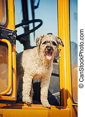 curly brown dog jumping stands at the construction machine -...