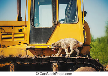 curly brown dog jumping running on a construction machine -...