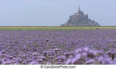 Le Mont Saint-Michel behind Phacelia field + pan - Mont...