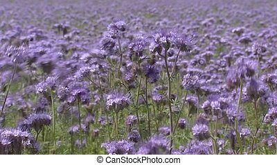 Field of Phacelia, full screen Phacelia attracts pollinators...