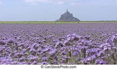 Le Mont Saint-Michel behind Phacelia field - Mont...