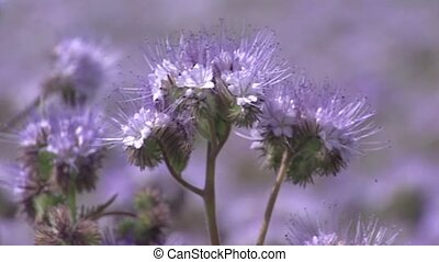 Field of Phacelia + honey bee, full screen Phacelia attracts...