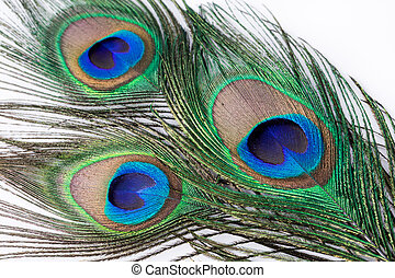 Peacock feather on  white background.