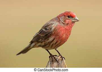 Male House Finch (Carpodacus mexicanus) on a fence post