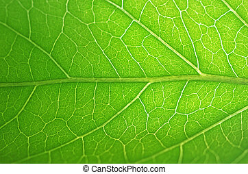 vein of the green leaf