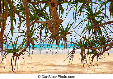 Screwpine on Kata beach on Phuket island in Thailand -...