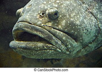 Fish Giant Grouper - Epinephelus lanceolatus, living at...