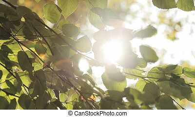 The sun shines through the leaves of the birch