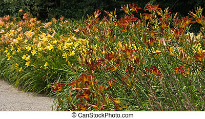 Day lilies - the ultimate summer flowers - Big groups of...