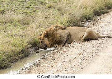 Male lion drinking water from a puddle at Serengeti National...