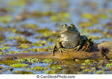 frog in natural habitat