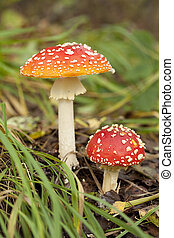 toadstool - toxic toadstools (Amanita Parcivolvata) in the...