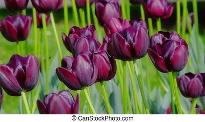 Dark purple tulips - Many dark purple tulips swaying in the...