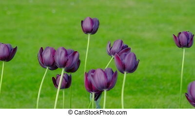 Dark purple tulips swaying in the wind. - Dark purple tulips...