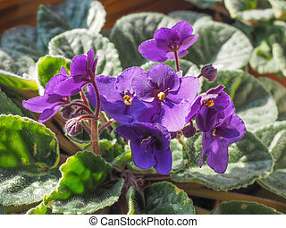 Saintpaulia flower - Flowers of Saintpaulia African Violet...