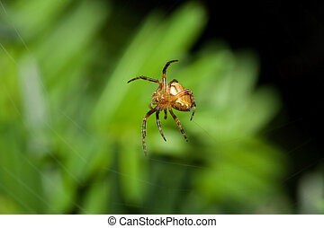 Female Cobweb Spider waits patiently in it\'s web.