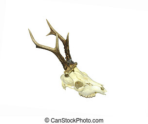 Young deer skull isolated on white background