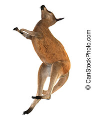 Red Kangaroo - 3D digital render of a boxing red kangaroo...
