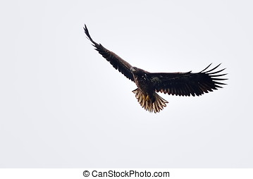 white tailed eagle haliaeetus albicilla flying