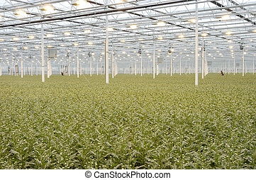 Greenhouse - Large greenhouses with young plants
