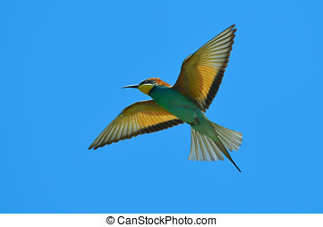 european bee-eater Merops Apiaster outdoor - european...