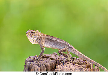 Closeup of Changeable lizard on tree.