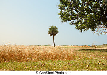 View of golden wheat field, Harvest concept in indian...