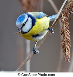blue tit on branch (parus caeruleus) - blue tit on branch in...