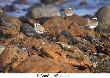 Kentish Plover Charadrius alexandrinus on rocks by the sea...