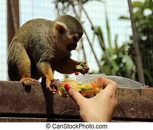Funny monkey eats food from the hand of the girl