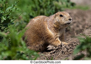 Prarie dog looking out of shelter - Prarie dog looking out...