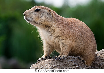 Prarie dog looking sitting of the ground - Prarie dog...
