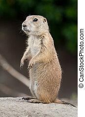 Standing prarie dog - Prarie dog standing and looking...