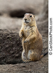 Prarie dog stading next to hole - Prarie dog standing next...