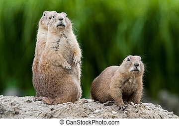 Group of praire dogs - Group of prarie dogs looking around....