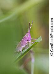 Pink Grasshopper perched on a leaf closeup