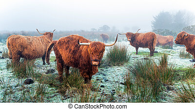 Highland Cattle - Highland cattle on a frosty, foggy morning...