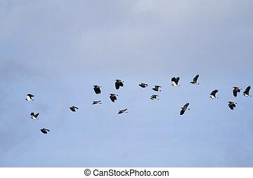 Lapwing (Vanellus vanellus) in flight blue sky