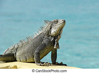 Bonaire Iguana - Wild Iguana from the Island of Bonaire on a...