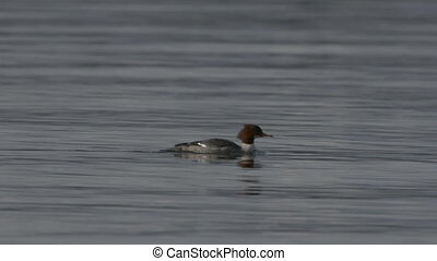 Common Merganser Mergus merganser swimming