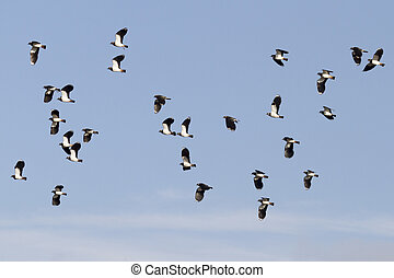 Lapwing Vanellus vanellus in flight with blue sky