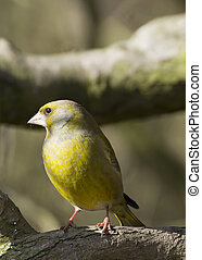 Greenfinch (Carduelis chloris) - Greenfinch perched on a...